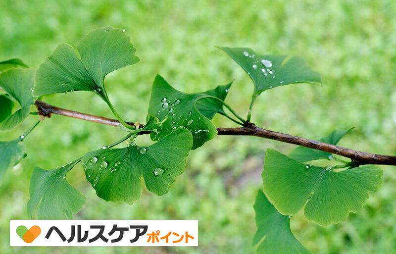 葉 イチョウ